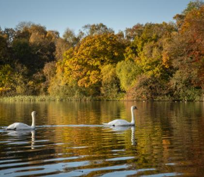 Autumn swans at Pearl Lake - photo