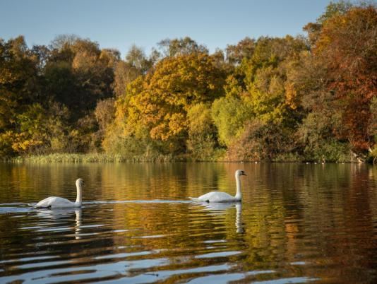Autumn swans at Pearl Lake - photo