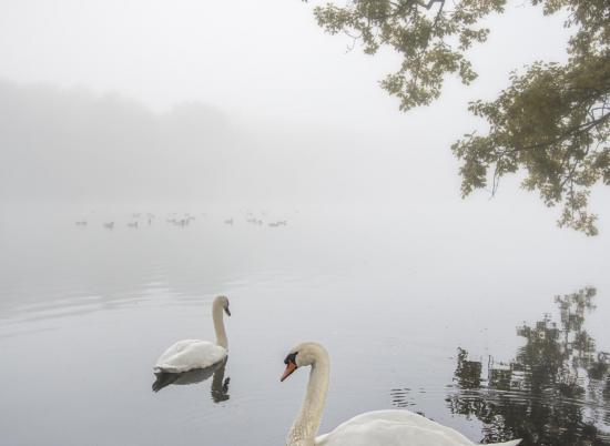 Swans at Pearl Lake photo