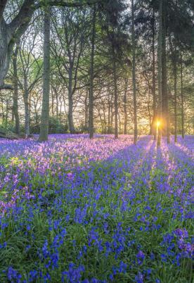 Bluebell woodland near to Rockbridge Park photo