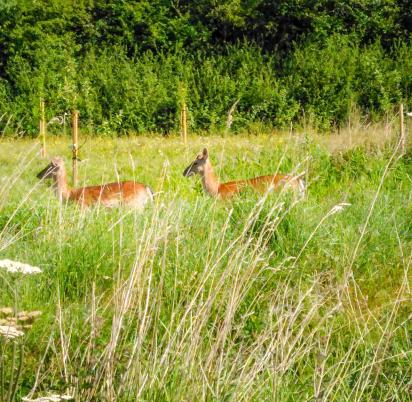 Wild deer on the Nature trail at Arrow Bank photo