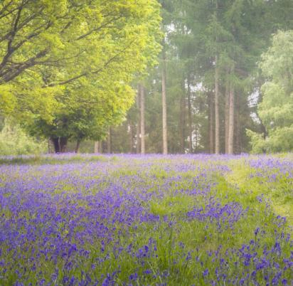 Bluebell woodland near to Pearl Lake photo