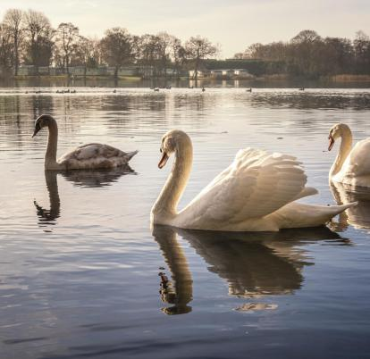 swans in autumn light photo
